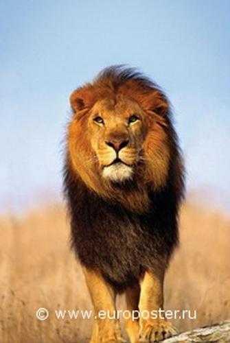 """Плакат """"A Lion (PP30296)"""""""