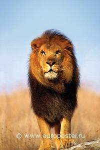 "Плакат ""Lion (PP30296)"""