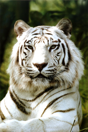 "Плакат ""White tiger (PH0205)"""