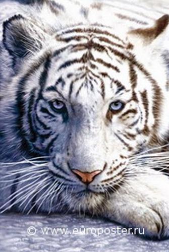 "Плакат ""Winter Tiger (PP30282)"""